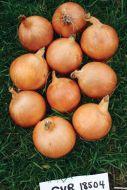 LaSalle (Onion/main season)