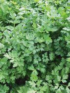 Laura (Parsley/plain leaf)