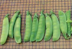Greencrop (Green Beans Bush/flat)