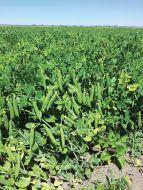 Sienna (Garden peas/early)