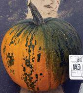 HSC 151 (Hybrid Pumpkin)