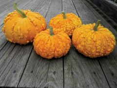 Sanchez (Warted Hybrid Pumpkin)