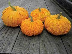 Sanchez (Warted Hybrid Pumpkin)