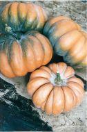Fairytale (O/P Pumpkin)