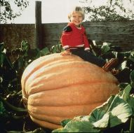 Dill's Atlantic Giant (Giant O/P Pumpkin)