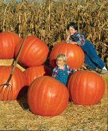 Prizewinner (Hybrid Giant Pumpkin)