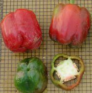 Telestar (Hybrid Colored Pepper)