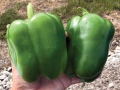 Skyhawk (Hybrid Sweet Pepper)