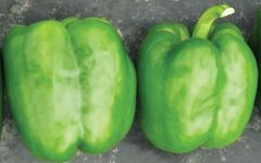 Turnpike (Hybrid Sweet Pepper/pelleted)