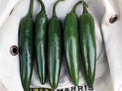 Feroz (Hybrid Pepper/hot)
