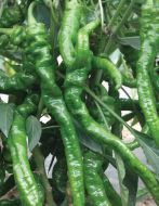 El Senor (Hybrid Pepper/hot)