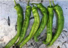 Wildcat (Hybrid Hot Pepper)
