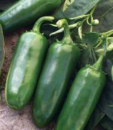 Tajin (Hybrid Hot Pepper)