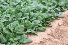 Kolibri (Spinach/Semi Savoy/hybrid)