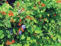 Scarlet Runner (Pole Bean)