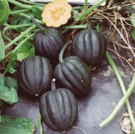Autumn Delight (Acorn Squash)
