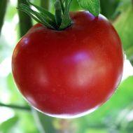 Better Boy VFN (Hybrid Staking Tomato)