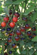 Midnight Snack (Hybrid Cherry Tomato/untreated)