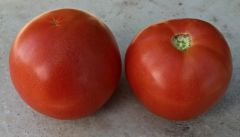 Red Snapper VF/Aal (Hybrid Bush Tomato)
