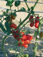 Red Candy (Hybrid Grape Tomato)