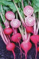 Chioggia Guardsmark (Beet/O/P/novelty)