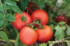Defiant VF2/PhR (Hybrid Bush Tomato)