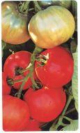 Ultra Boy II VFN (Hybrid Staking Tomato)