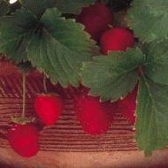 Fresca (Strawberry/O/P)