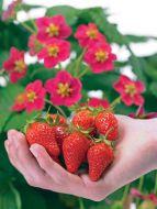 Toscana (Strawberry/hybrid)