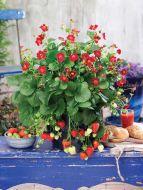 Ruby Ann (Strawberry/hybrid)