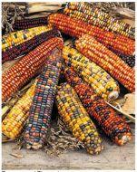 Fiesta (Corn/O/P/ornamental)
