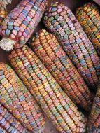 Earth Tones Dent (Corn/O/P/ornamental/untreated)