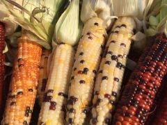 Firecracker (Corn/hybrid/ornamental)