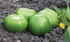 Tamayo (Tomatillo/hybrid)