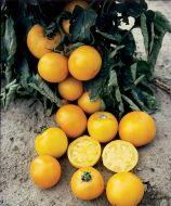 Lemon Boy VFN (Hybrid Staking Tomato)