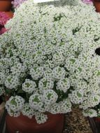 Snow Crystals (Alyssum)