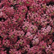 Wonderland Deep Rose (Alyssum)