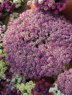 Wonderland Lavender (Alyssum)