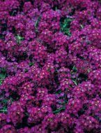 Wonderland Deep Purple (Alyssum)