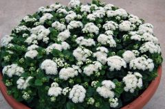 Aloha White (Ageratum/pellets)