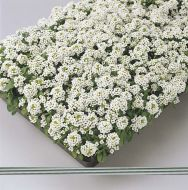 Easter Bonnet White (Alyssum)