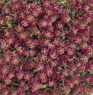 Easter Bonnet Deep Rose (Alyssum)