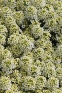Easter Bonnet Lemonade (Alyssum)