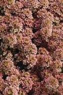 Easter Bonnet Peach (Alyssum)