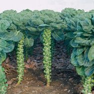 Cobus (Brussels Sprouts)