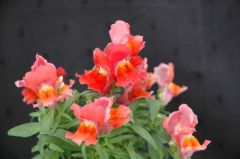 Floral Showers Deep Bronze (Snapdragon/dwarf)
