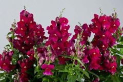 Floral Showers Purple (Snapdragon/dwarf)
