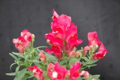 Floral Showers Rose (Snapdragon/dwarf)