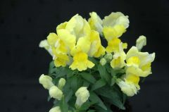 Floral Showers Yellow (Snapdragon/dwarf)