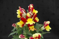 Floral Showers Red and Yellow Bicolor (Snapdragon/dwarf)
